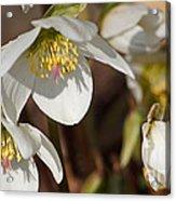 Helleborus Niger - Christrose Acrylic Print