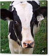 Hello My Name Is Cow Acrylic Print