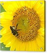Hello Sunflower Acrylic Print
