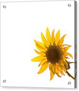 Hello Yellow Acrylic Print