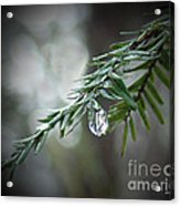 Hemlock Tears Acrylic Print