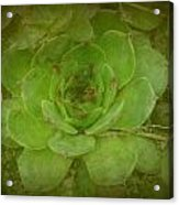 Hen And Chicks Plant Acrylic Print