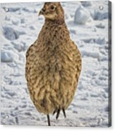 Hen Pheasant In The Snow Acrylic Print