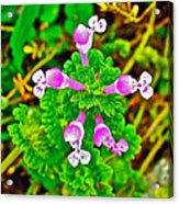 Henbit At Chickasaw Village Site At Mile 262 Of Natchez Trace Parkway-mississippi Acrylic Print