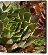 Hens And Chicks Sedum 1 Acrylic Print