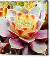 Hens And Chicks Series - Early Morning Quite Acrylic Print