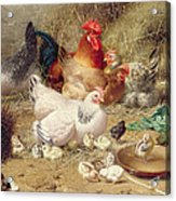 Hens Roosting With Their Chickens Acrylic Print