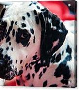 Her Eyes. Portrait Of Dalmation Dog. Kokkie Acrylic Print