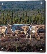 Herd Of Broad Pass Acrylic Print