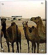 Herd Of Camels In A Farm, Abu Dhabi Acrylic Print