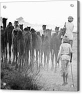 Herd Of Camels Acrylic Print