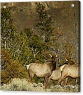 Herd Of Cow Elk   #7672 Acrylic Print