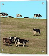 Herd Of Cows Grazing On A Hill, Point Acrylic Print