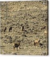 Herd Of Elk   #3218 Acrylic Print