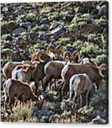 Herd Of Horns Acrylic Print