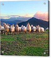 Herd Of Sheep In The Sunset Acrylic Print