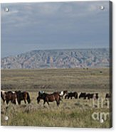 Herd Of Wild Horses Acrylic Print by Juli Scalzi