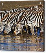Herd Of Zebras Drinking Water Acrylic Print