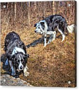 Herder And Herded Acrylic Print