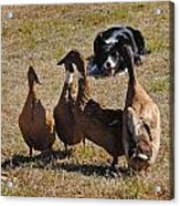 Herding Ducks Acrylic Print
