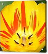 Here Comes The Sun Tulip Acrylic Print