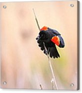 Here I Am Ladies - Red-winged Blackbird Acrylic Print