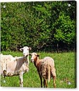 Here Is Looking At Ewe Acrylic Print