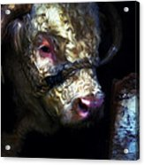 Hereford Bull 2 Acrylic Print
