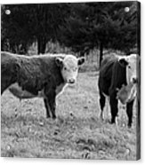 Hereford Portrait V In Black And White Acrylic Print by Suzanne Gaff