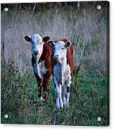 Herefords Acrylic Print
