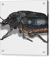 Hermit Beetle - Russian Leather Beetle - Osmoderma Eremita - Pique Prune - Erakkokuoriainen Acrylic Print by Urft Valley Art