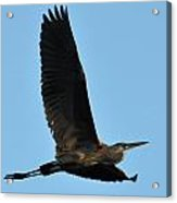 Heron 248a Acrylic Print