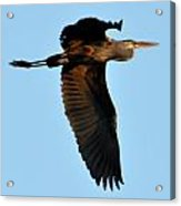 Heron 249a Acrylic Print