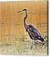 Heron At Sunset Acrylic Print by Marty Koch