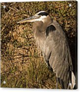 Heron Basking In The Morning Sun Acrylic Print