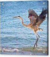 Heron Boca Grande Florida Acrylic Print by Fizzy Image