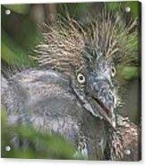 Heron Chick Acrylic Print