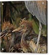 Heron Chicks Acrylic Print