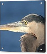 Heron Close-up Acrylic Print