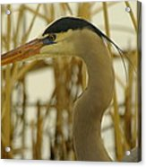 Heron Close Up Acrylic Print