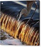 Heron Fishing At The Weir Acrylic Print