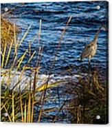Heron Fishing Acrylic Print