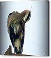 Heron Grooming Acrylic Print