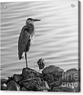Heron In Black And White Acrylic Print