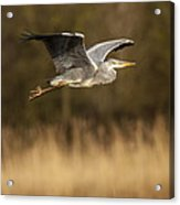 Heron In Flight Acrylic Print by Simon West