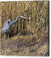 Heron In The Grass Acrylic Print