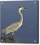 Heron In Wading Acrylic Print