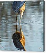Heron Looking At Its Own Reflection Acrylic Print