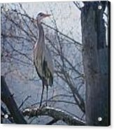 Heron Looking Out Acrylic Print