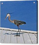 Heron On Rooftop Acrylic Print